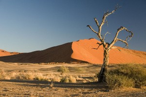 Camel Thorn Tree (Acacia erioloba) in Sossusvlei region, Namib-Naukluft National Park, Namib Desert, Namibia, Africa. Photo by Luca Galuzzi (Lucag)