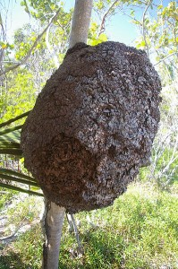 Yup, that's what a termite nest looks like! This one is an arboreal termite nest from Tulum, Mexico, via Wikimedia / Tim Gage