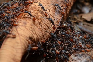 Army Ants: These suckers are evil - avoid at all costs! Via Wikimedia / Geoff Gallice