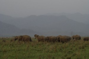 Asian elephants at Corbett National Park, Dhikala. Photo via Wikimedia Commons by Vikram Gupchup.