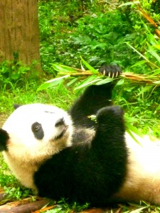 The famous Chengdu Pandas