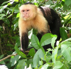 Wild Capuchin monkey (Cebus capucinus) on a tree near a riverbank in the jungles of Guanacaste, Costa Rica. Photo via Wikimedia by Storkk.