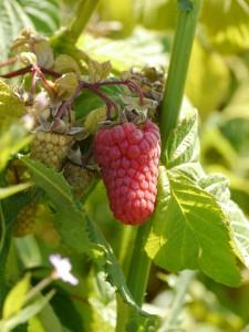 It's raspberry season!