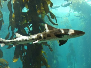 Leopard Shark. Via wikimedia, by Tewy.